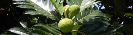 Rebuild Dominica Partners With The Global Breadfruit Institute